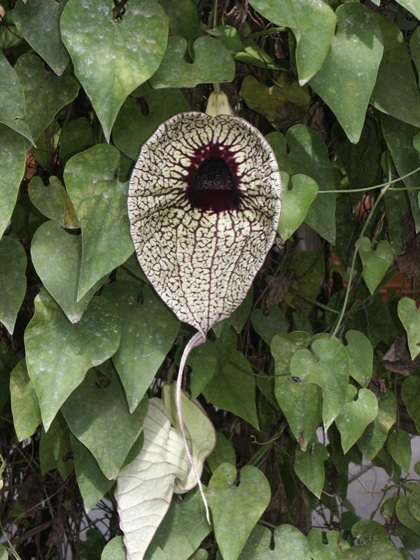 Foto: Duitse pijp grandiflora