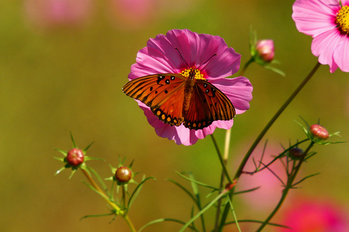 Cosmos and Gulf Fritillary