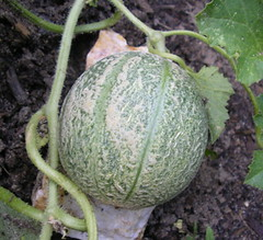 flower(0.0), produce(0.0), food(0.0), vegetable(1.0), figleaf gourd(1.0), plant(1.0), fruit(1.0), muskmelon(1.0), melon(1.0), cucurbita(1.0), gourd(1.0),