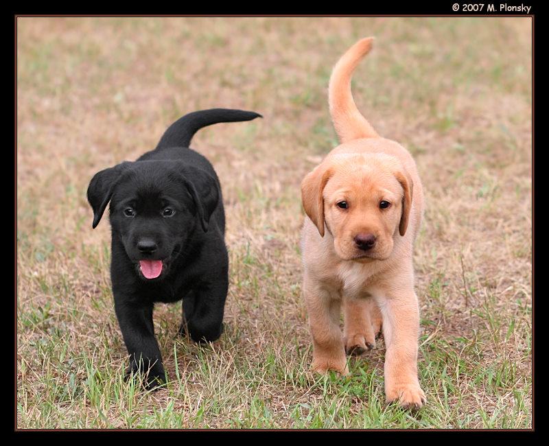 On Black Labrador Retriever Puppies By Mplonsky Large