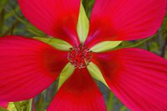 amaryllis belladonna, flower, red, macro photography, flora, petal,