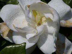 flower, white, plant, flora, gardenia, petal,