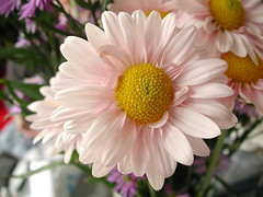 asterales, annual plant, flower, plant, marguerite daisy, gerbera, daisy, macro photography, flora, oxeye daisy, flower bouquet, chrysanths, pink, petal,