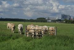 Kudde koeien