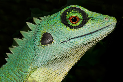 0003 - Green Crested Lizard