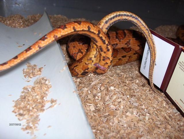 Corn snake porn