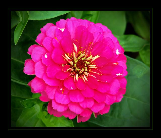 Flor (Zinia)