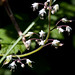 threeleaf foamflower - Photo (c) M.E. Sanseverino, some rights reserved (CC BY-NC-ND)