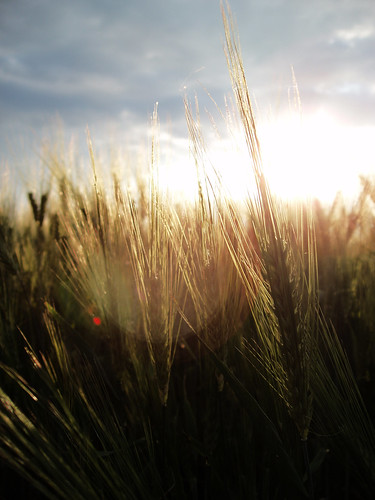 Sunset Oats