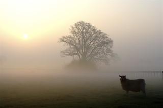A sheep . . .
