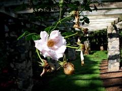 Rose Garden, Raleigh NC 6713