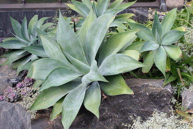 agave attenuata cv  nova  5