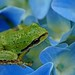 PACIFIC TREEFROG Hyla regilla on hydrangea by encyclopediabotanica