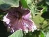 Eggplant flower by PurpleMeru