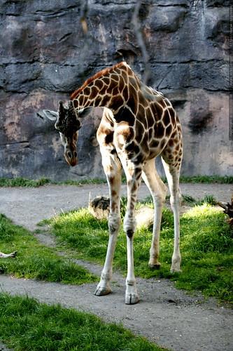 reticulated giraffe in the portland zoo    MG 4056