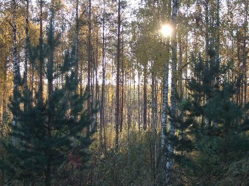 sun pine woods swamp birch
