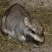 Small photo of Lagostomus maximus, Viscacha