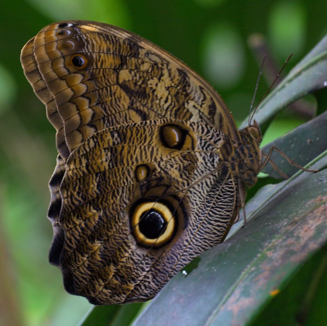 Owl butterfly - photo#18