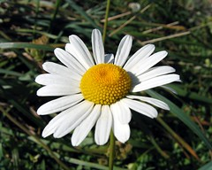 Marguerite (another one)