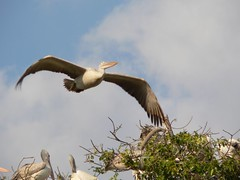 stork(0.0), ciconiiformes(0.0), white stork(0.0), animal(1.0), pelican(1.0), wing(1.0), fauna(1.0), beak(1.0), bird(1.0), seabird(1.0), wildlife(1.0),