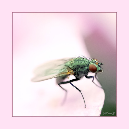 an ordinary fly