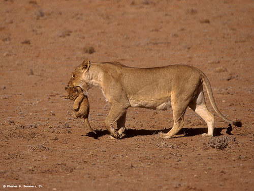 05890-12111 African Lioness carrying three week old cub CS RSA