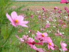blossom(0.0), grass(0.0), lawn(0.0), annual plant(1.0), prairie(1.0), flower(1.0), field(1.0), garden cosmos(1.0), plant(1.0), wildflower(1.0), flora(1.0), meadow(1.0), cosmos(1.0), grassland(1.0), petal(1.0),