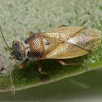Cymus melanocephalus