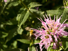 blossom(0.0), nectar(0.0), pollinator(1.0), animal(1.0), shrub(1.0), honey bee(1.0), flower(1.0), plant(1.0), nature(1.0), bee balm(1.0), invertebrate(1.0), macro photography(1.0), membrane-winged insect(1.0), wildflower(1.0), flora(1.0), fauna(1.0), bee(1.0), bumblebee(1.0),