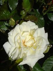 shrub(1.0), garden roses(1.0), camellia sasanqua(1.0), rosa 㗠centifolia(1.0), floribunda(1.0), flower(1.0), plant(1.0), gardenia(1.0), rosa pimpinellifolia(1.0), petal(1.0),