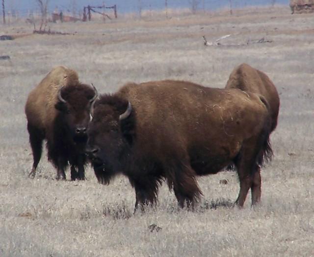 Bison Oklahoma Buffalo in Oklahoma 07...