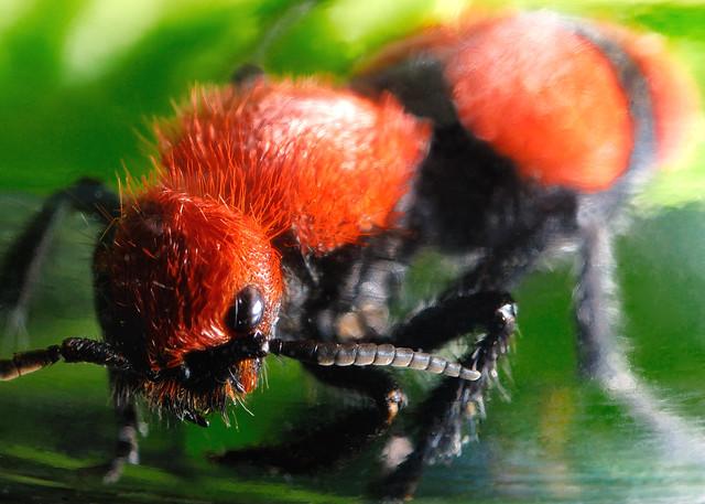 Cow killer bee - photo#1