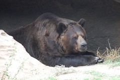 animal(1.0), american black bear(1.0), mammal(1.0), grizzly bear(1.0), fauna(1.0), brown bear(1.0), bear(1.0), wildlife(1.0),
