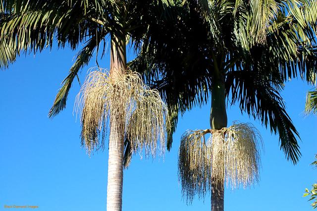 Archontophoenix cunninghamiana - Bangalow Palm