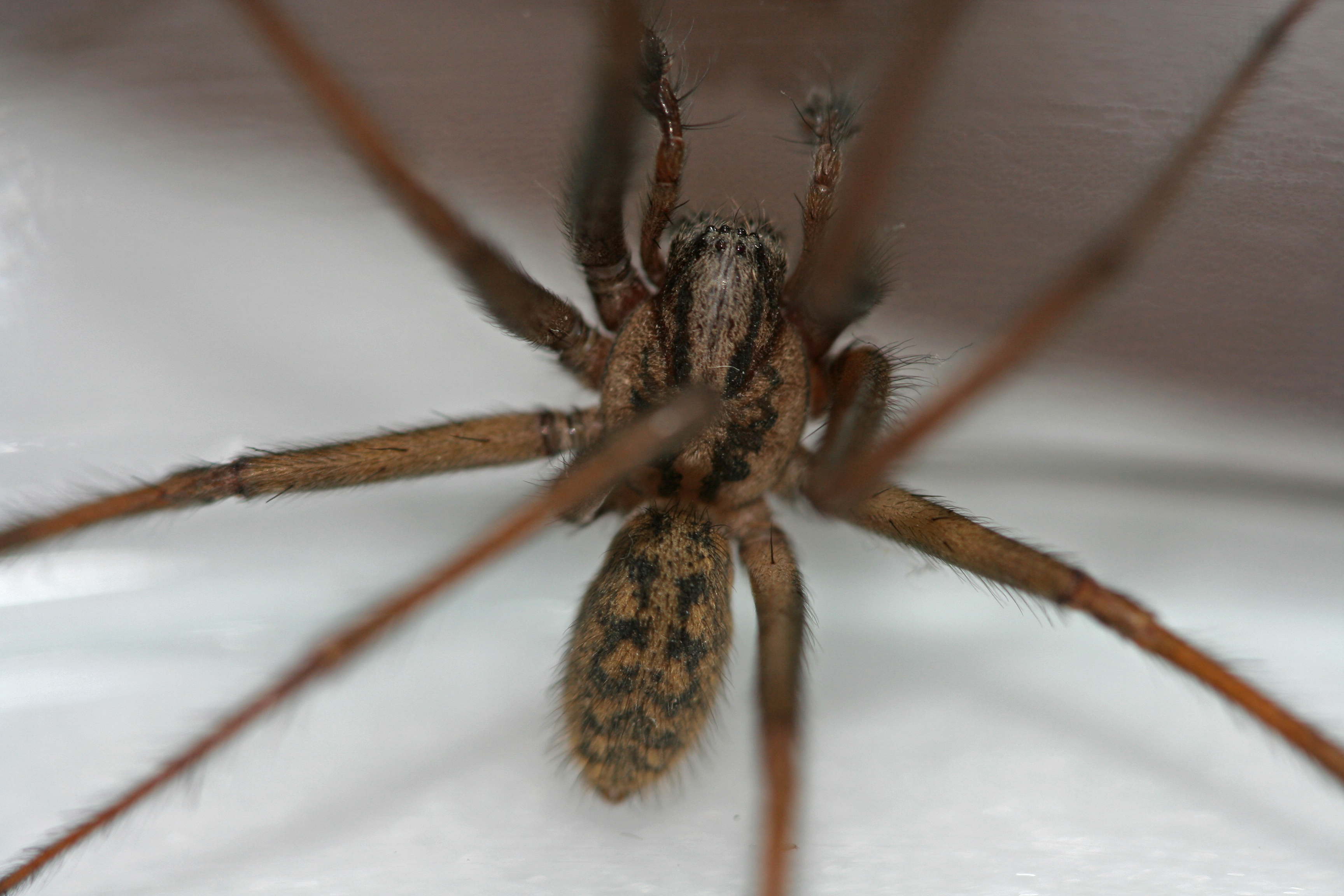 Giant House Spider 2   Notice the EIGHT eyes! spiders are ...