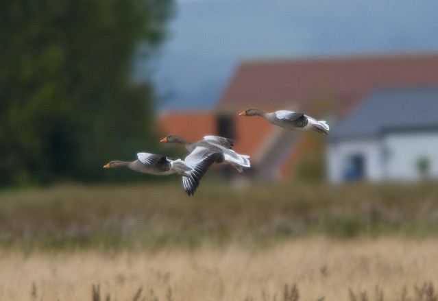 Greylag Geese (Anser Anser) in Flight at RSPB Blacktoft Sands