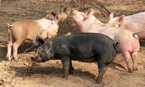 The Swine Ballet