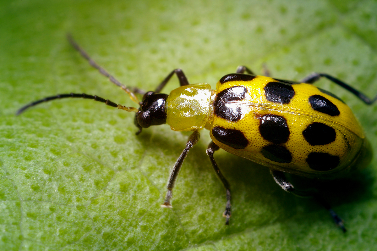 Spotted Cucumber Beetle - (Diabrotica undecimpunctata)
