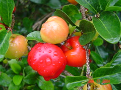 The Acerola Cherry