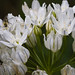 white brodiaea - Photo (c) M.E. Sanseverino, some rights reserved (CC BY-NC-ND)