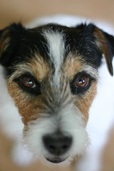 puppy(0.0), wire hair fox terrier(0.0), whiskers(0.0), dog breed(1.0), animal(1.0), dog(1.0), pet(1.0), mammal(1.0), parson russell terrier(1.0), close-up(1.0), russell terrier(1.0), jack russell terrier(1.0), terrier(1.0),