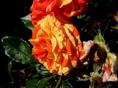 Rose Garden, Raleigh NC 6747