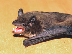 Evening Bat - Photo (c) tom spinker, some rights reserved (CC BY-NC-ND)