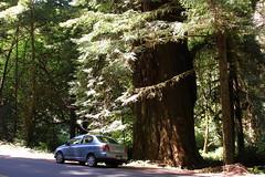 Little Car, Big Tree