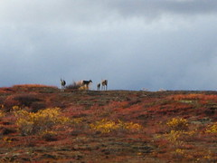 Caribou herd 2