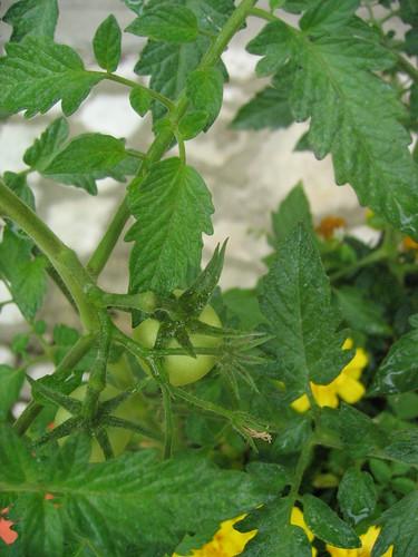 Comment avoir de belles tomates - Comment congeler des tomates du jardin ...