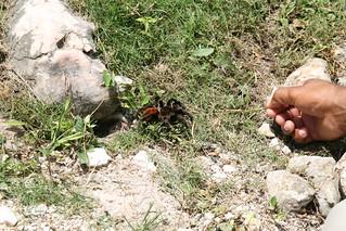 Obrázek Lamanai u Shipyard. spider maya belize tarantula lamanai mayancity gjallarhorntours