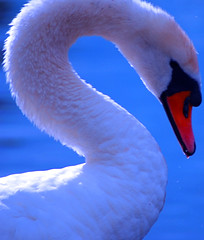 animal, water bird, swan, close-up, blue, beak, bird,