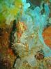 Blue Frog Fish