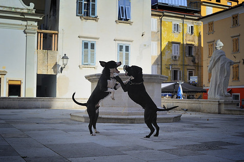 Dogs playing in the square, Piran, Slovenia